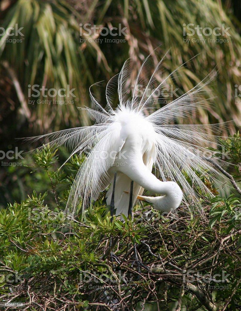 Garceta grande alisándose las plumas mismo en Nest foto de stock libre de derechos