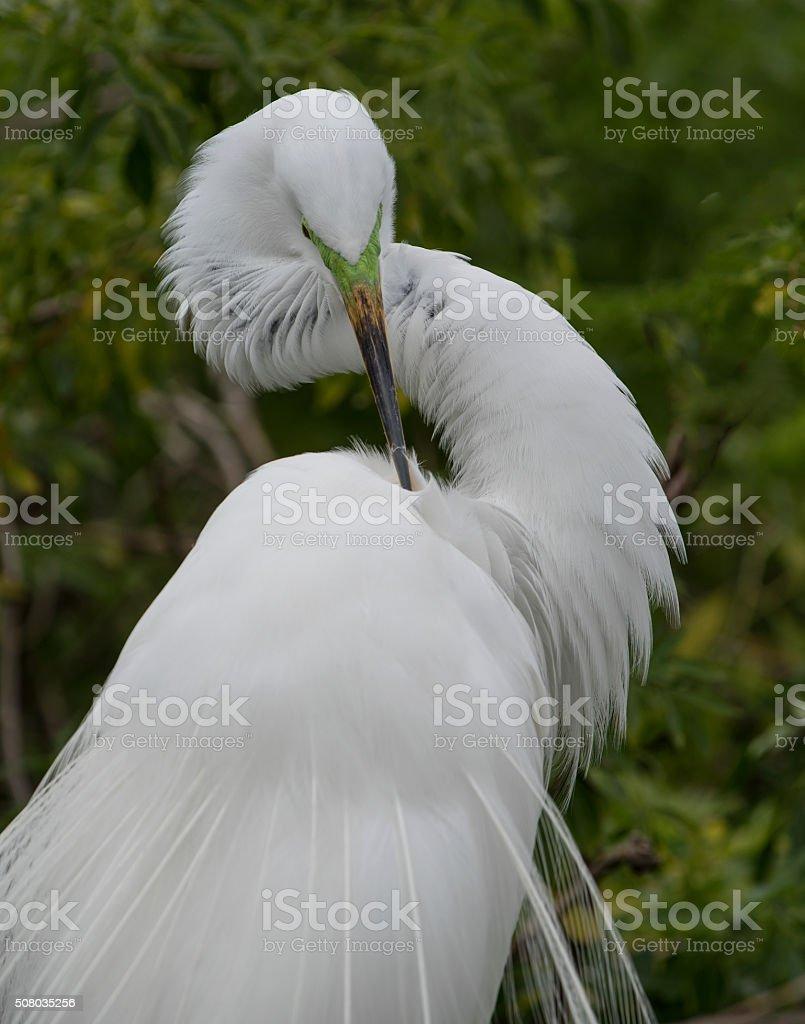 Great Egret preening stock photo