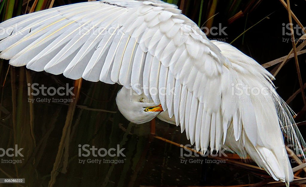 Great Egret preening under it's wing stock photo