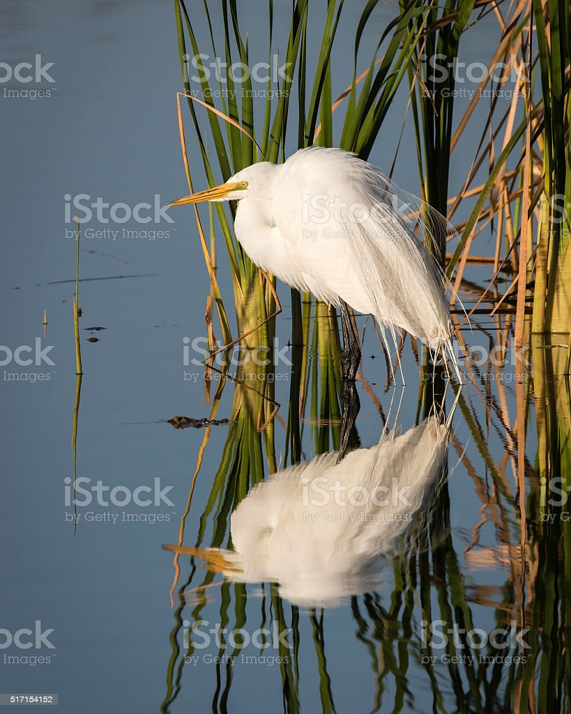 Great Egret Reflected in a Florida Wetland stock photo