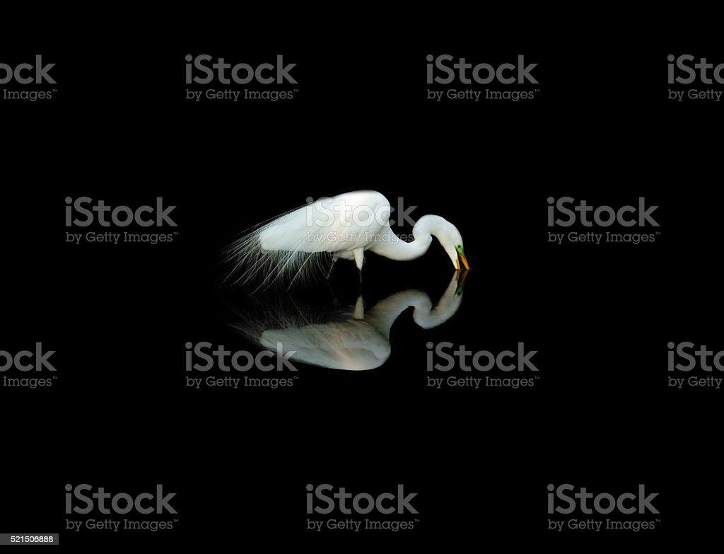 Great Egret Reflection stock photo