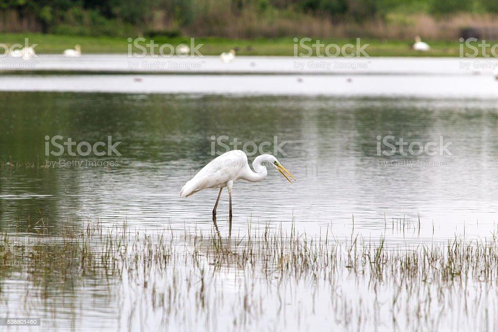 Great egret seeking for fish stock photo