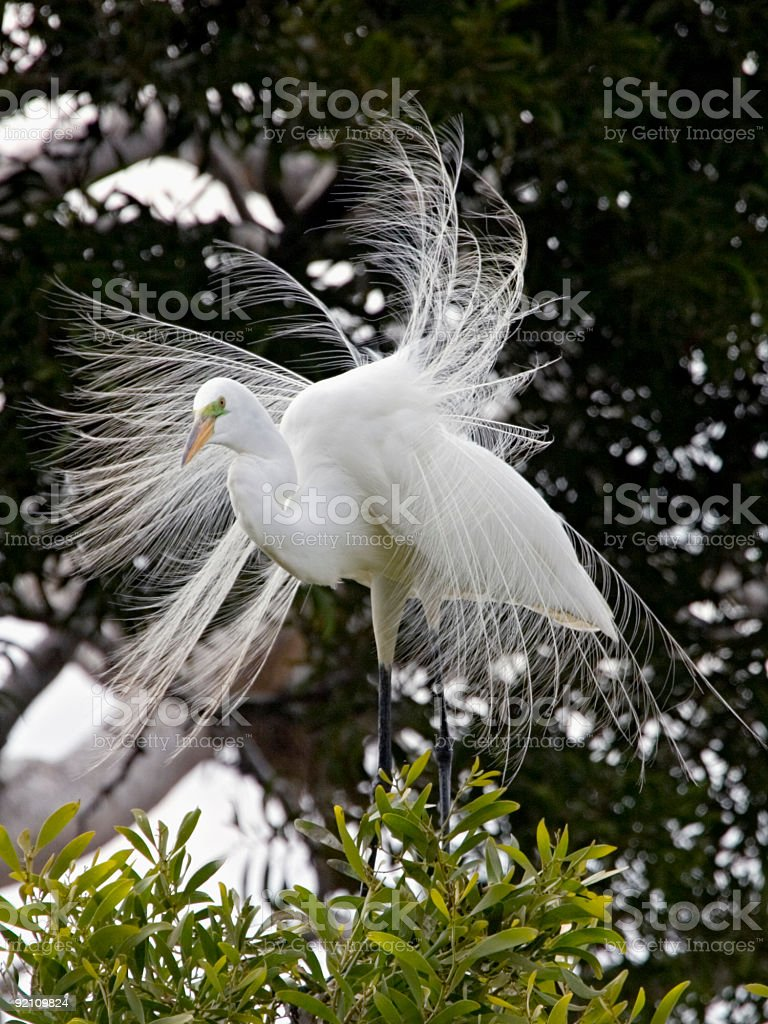 Great Egret Showing Courtship Plumage stock photo