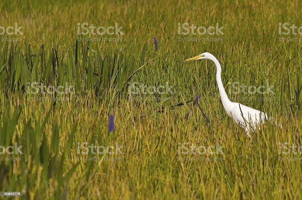 great egret stalking in marsh royalty-free stock photo