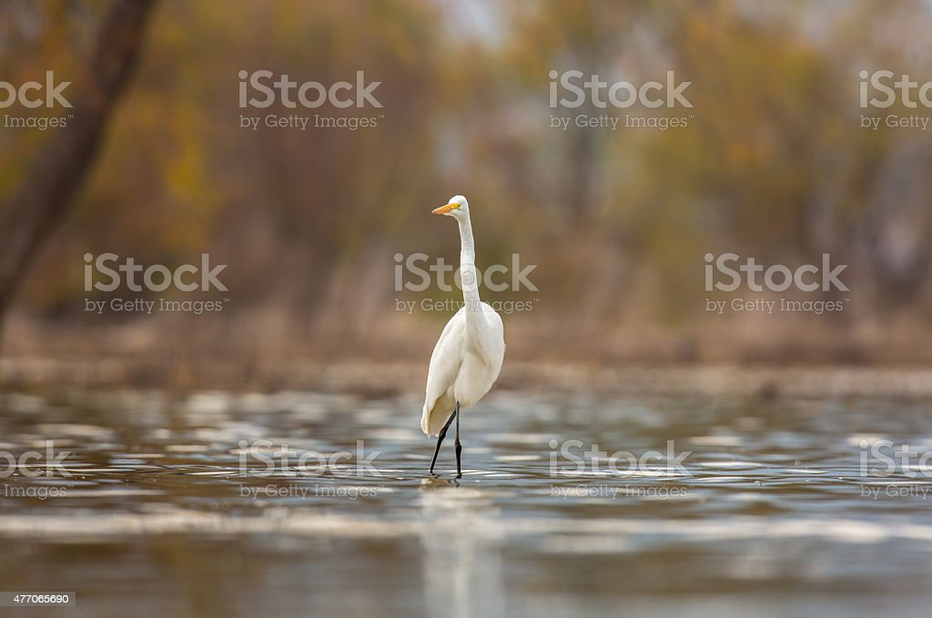 Great Egret stalking its prey. stock photo