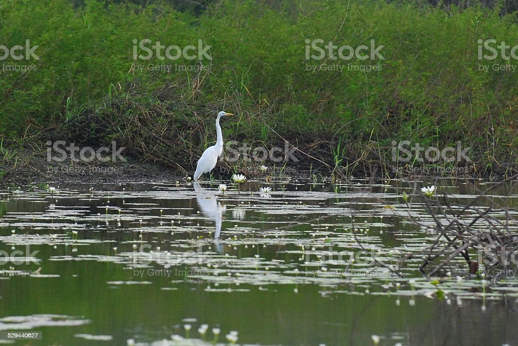 Great Egret Standing Amongst Water Lilies and Lily Pads royalty-free stock photo
