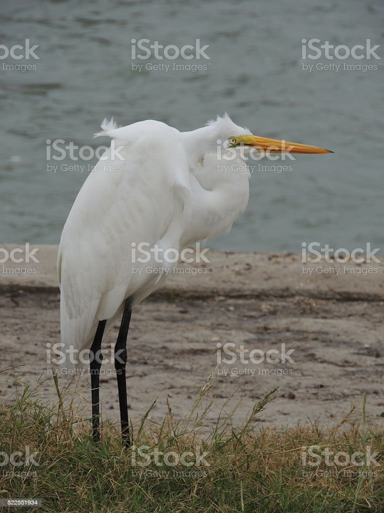 Great Egret standing huddled on the shore. stock photo