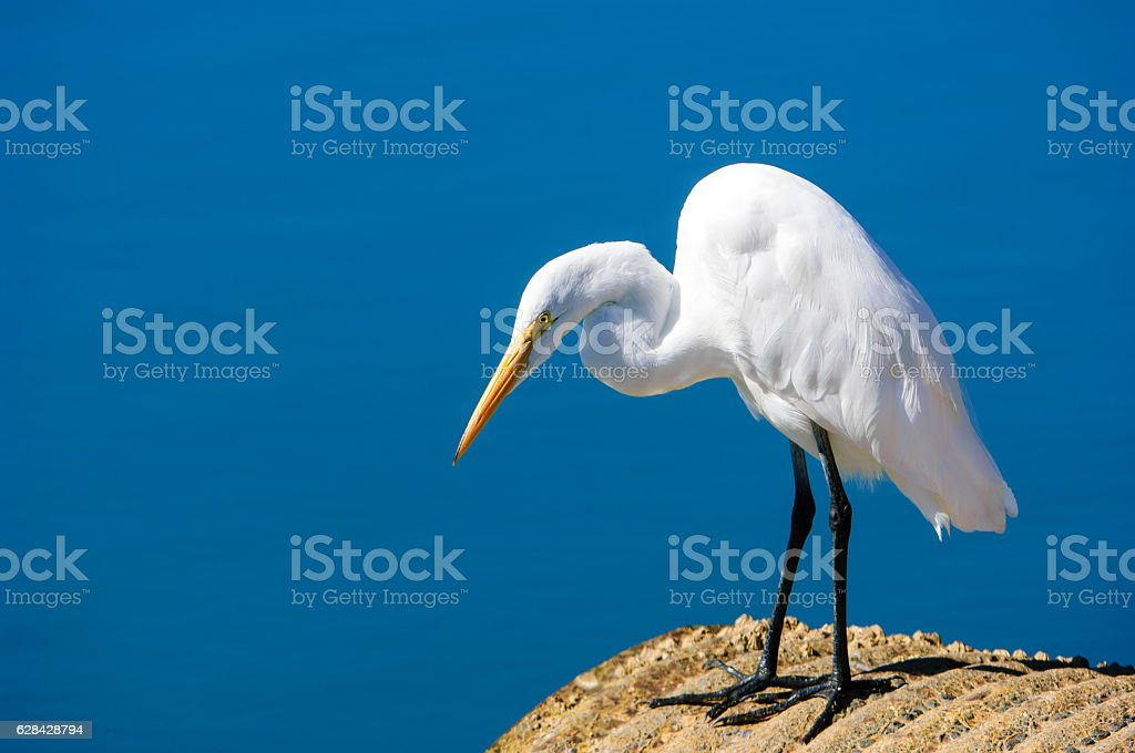 Great Egret Standing on Culvert Foraging for Fish stock photo