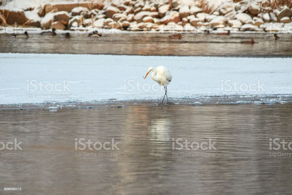 Great Egret standing on the shore of frozen river in sunlight in the winter. stock photo