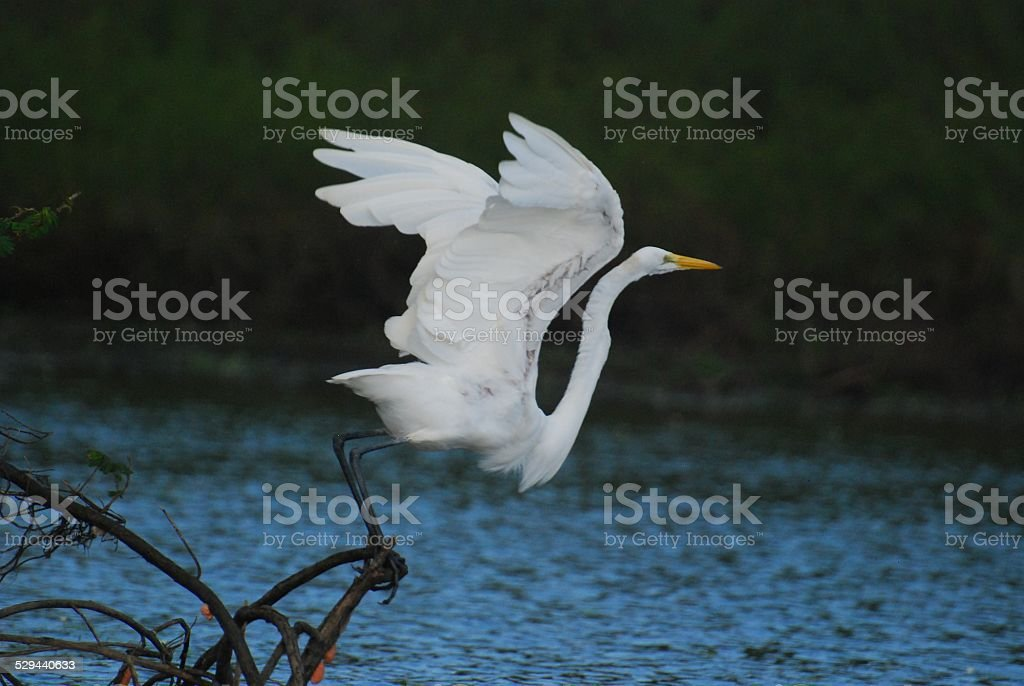 Great Egret Taking Off at Crooked Tree royalty-free stock photo