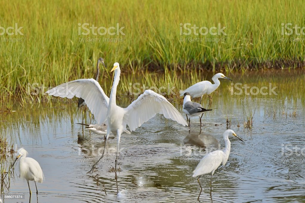 Great Egret Touchdown stock photo