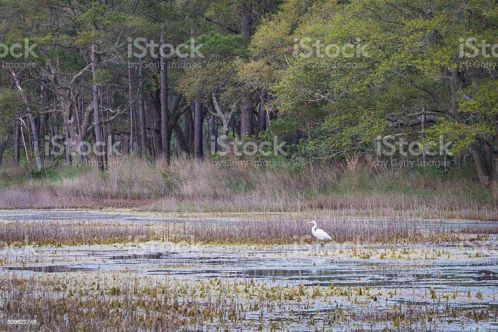 Great Egret Wading in Marsh near Charleston, SC stock photo