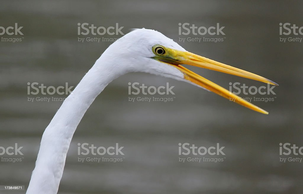 Great egret with open mouth royalty-free stock photo