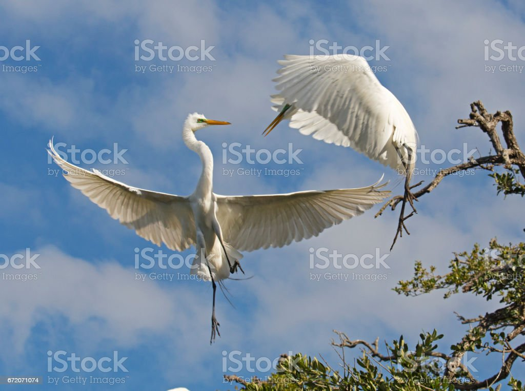 Great Egrets fighting stock photo