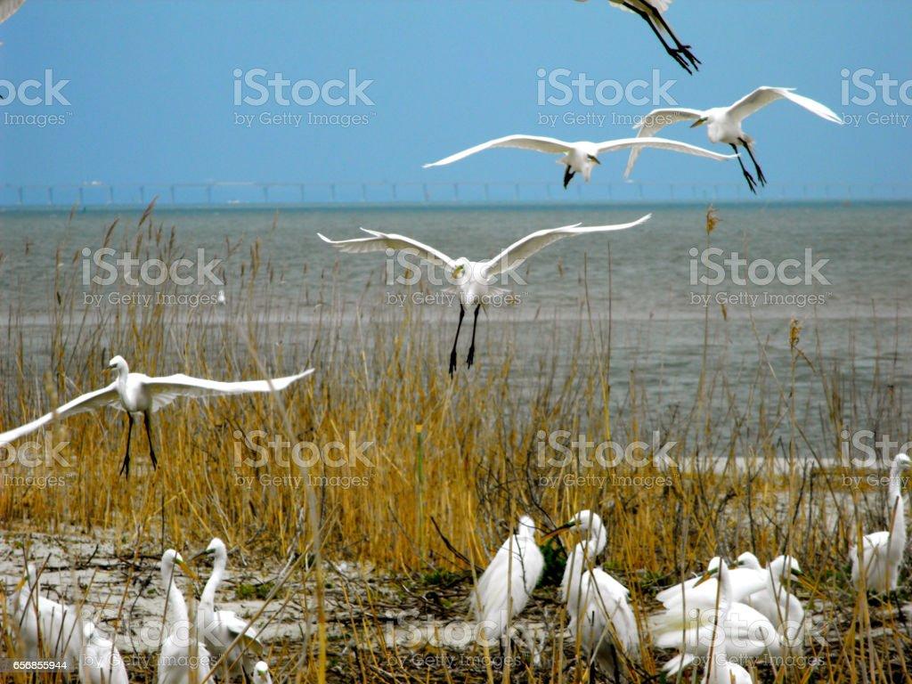 Great egrets landing stock photo