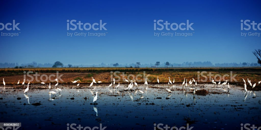 Great Egrets ! stock photo
