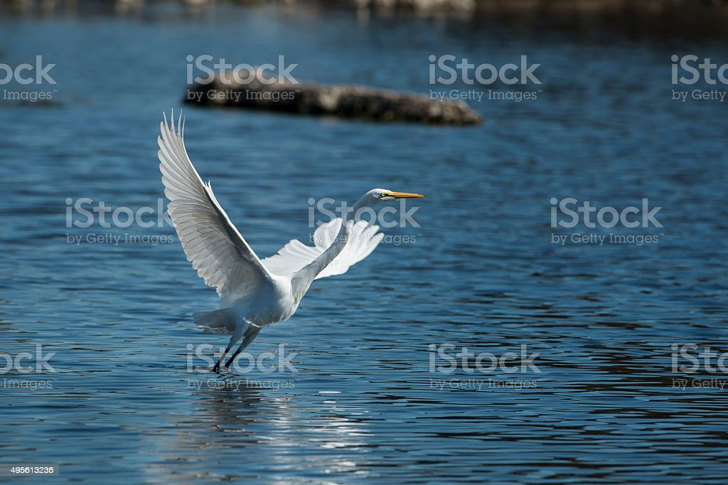 Great Egrett Launching Into Flight From Coastal Lake stock photo