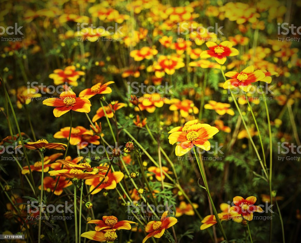 great field of flowers called Bidens in spring stock photo