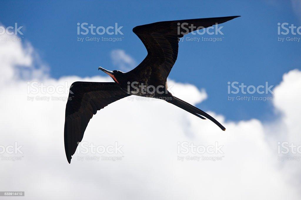 Great Frigatebird in flight - Galapagos Islands stock photo