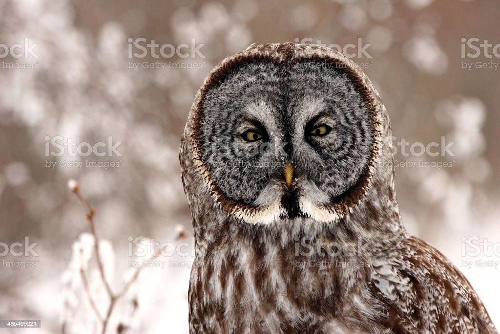 Great Gray Owl close up stock photo