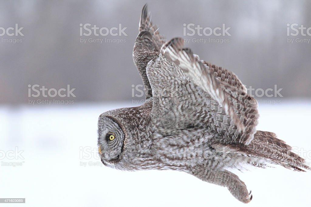 Great Gray Owl in flight stock photo