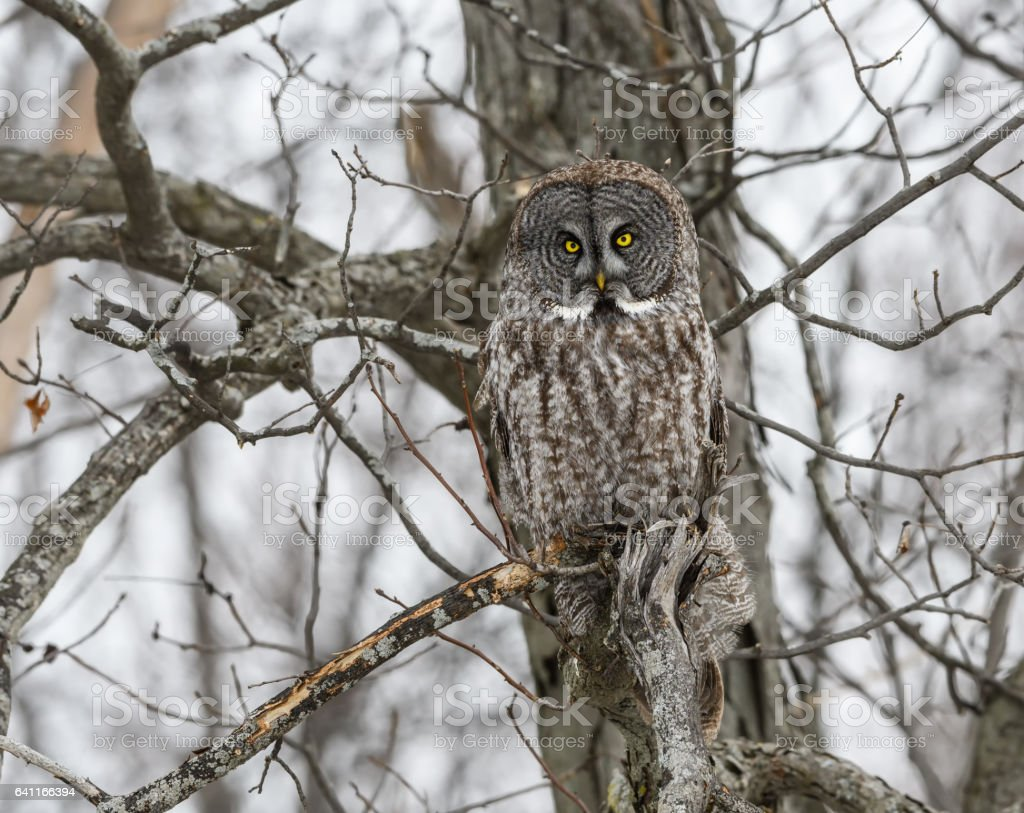 Great Gray Owl Perched in Trees stock photo