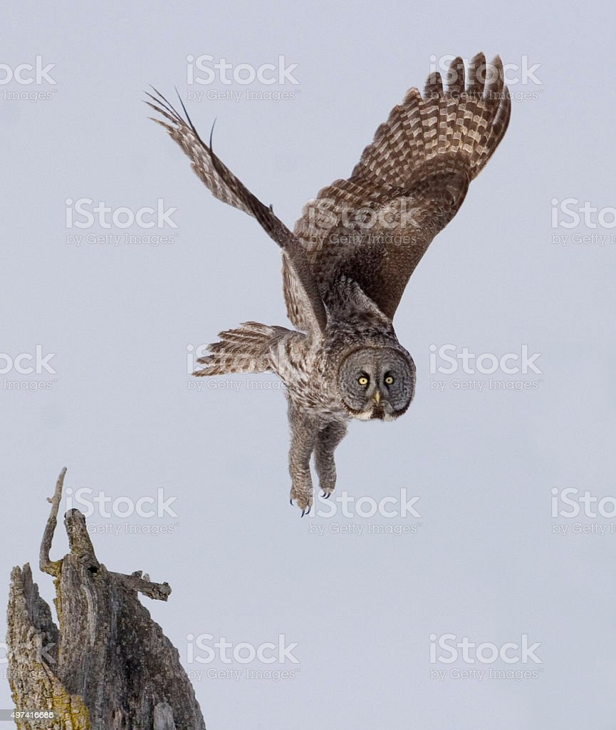 Great Gray Owl, Strix nebulosa, flying from perch stock photo