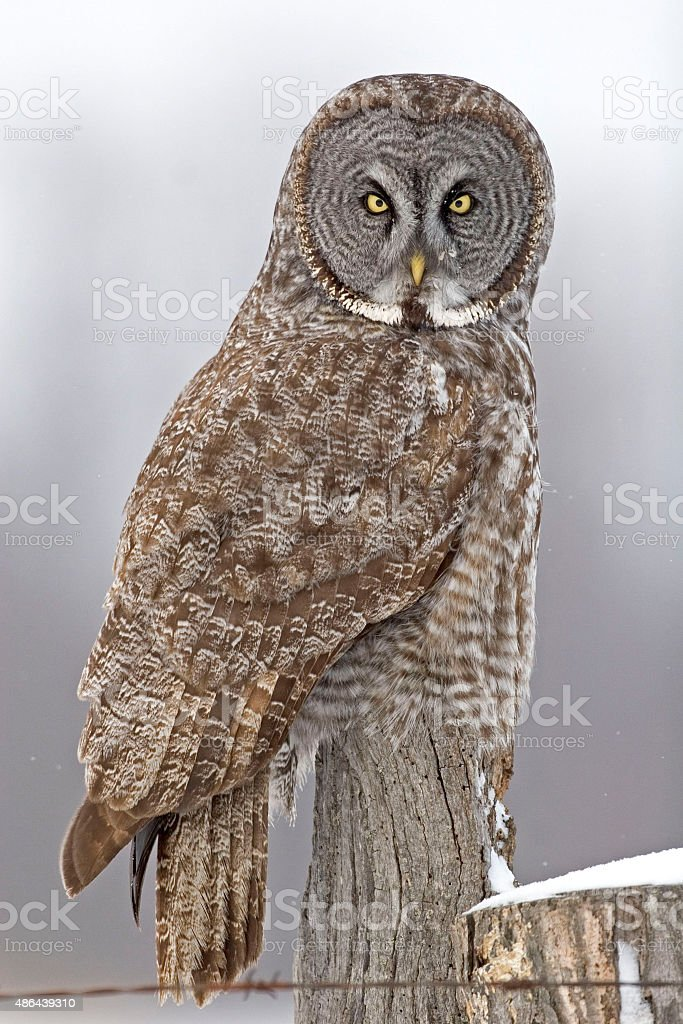Great Gray Owl, Strix nebulosa, looking at viewer stock photo