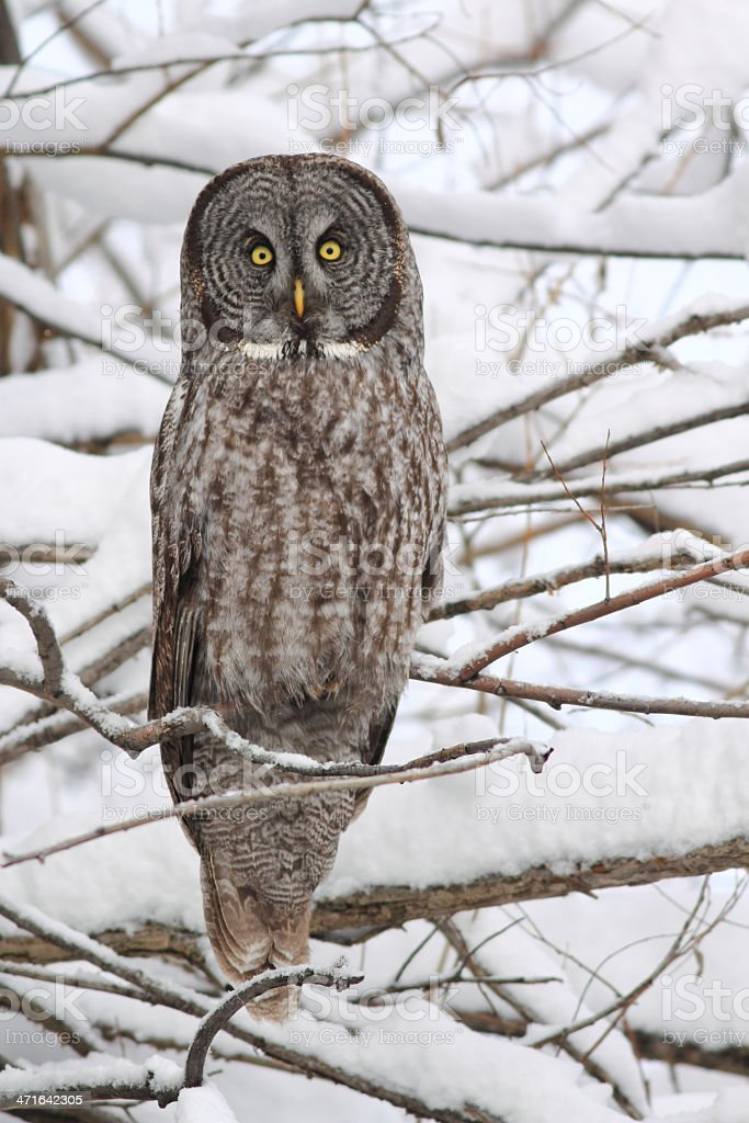 Great Gray Owl Upright in Snow stock photo
