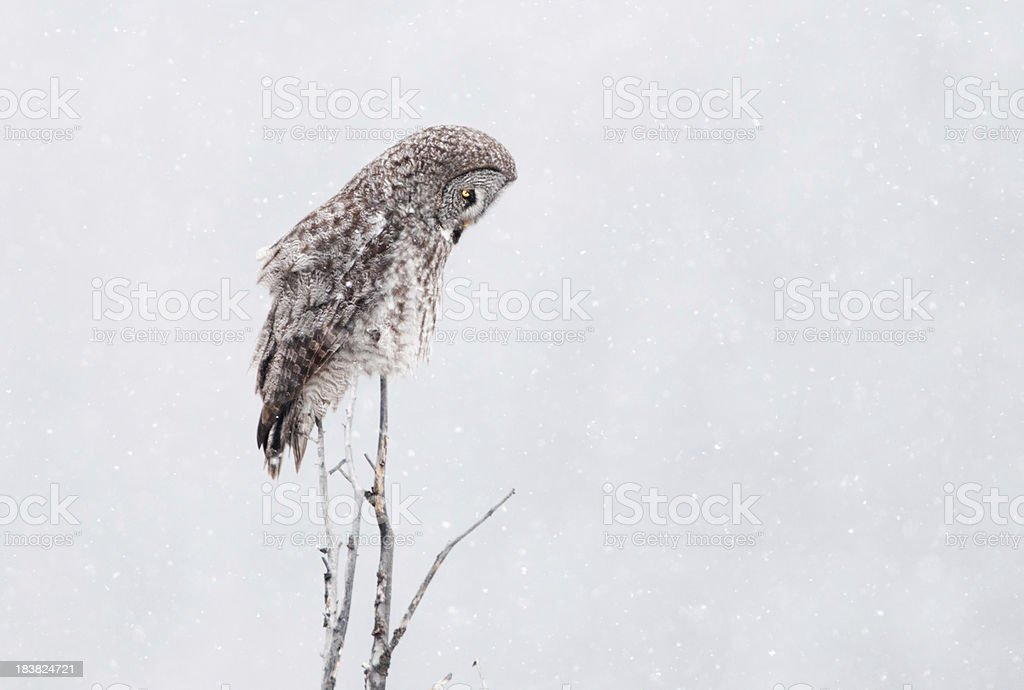 Great Gray Owl with Snowing White Background stock photo