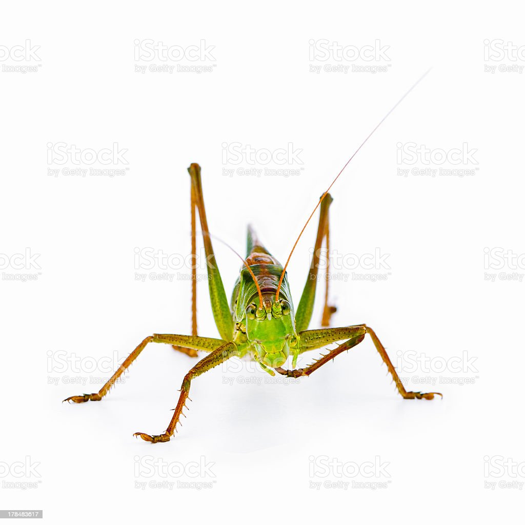 Great Green Bush Cricket royalty-free stock photo