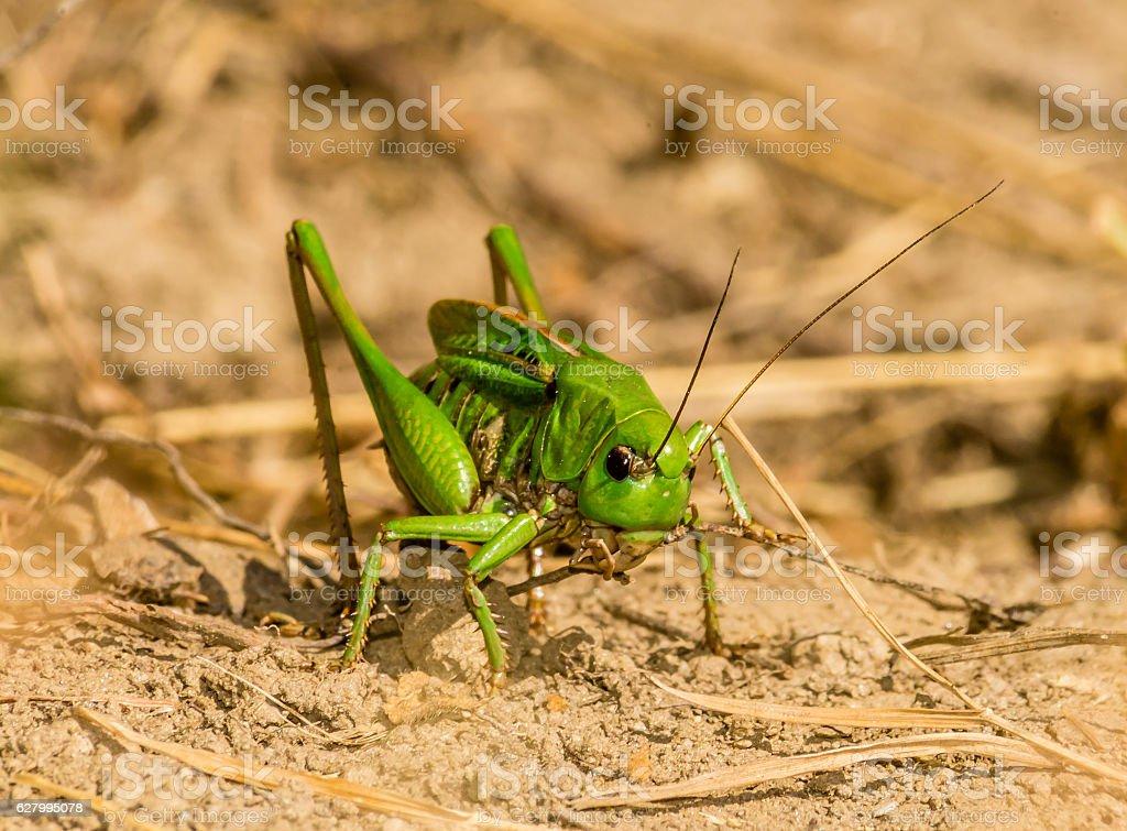 Great green bush cricket - Swiss alps stock photo