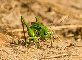 Great green bush cricket - Swiss alps