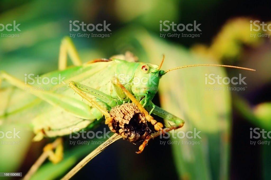 Great Green Bush-Cricket grasshopper (Tettigonia viridissima) royalty-free stock photo