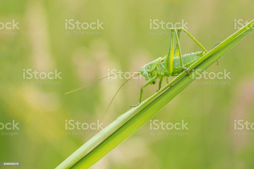Great Green Bush-cricket, Tettigonia viridissima stock photo