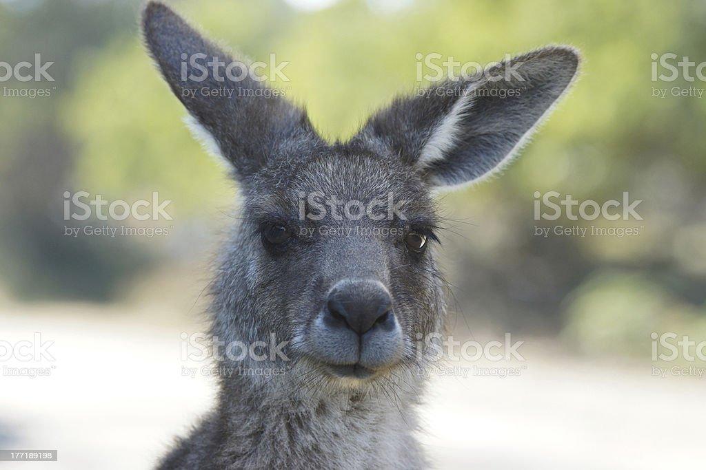 Great Grey Kangaroo, Australia royalty-free stock photo