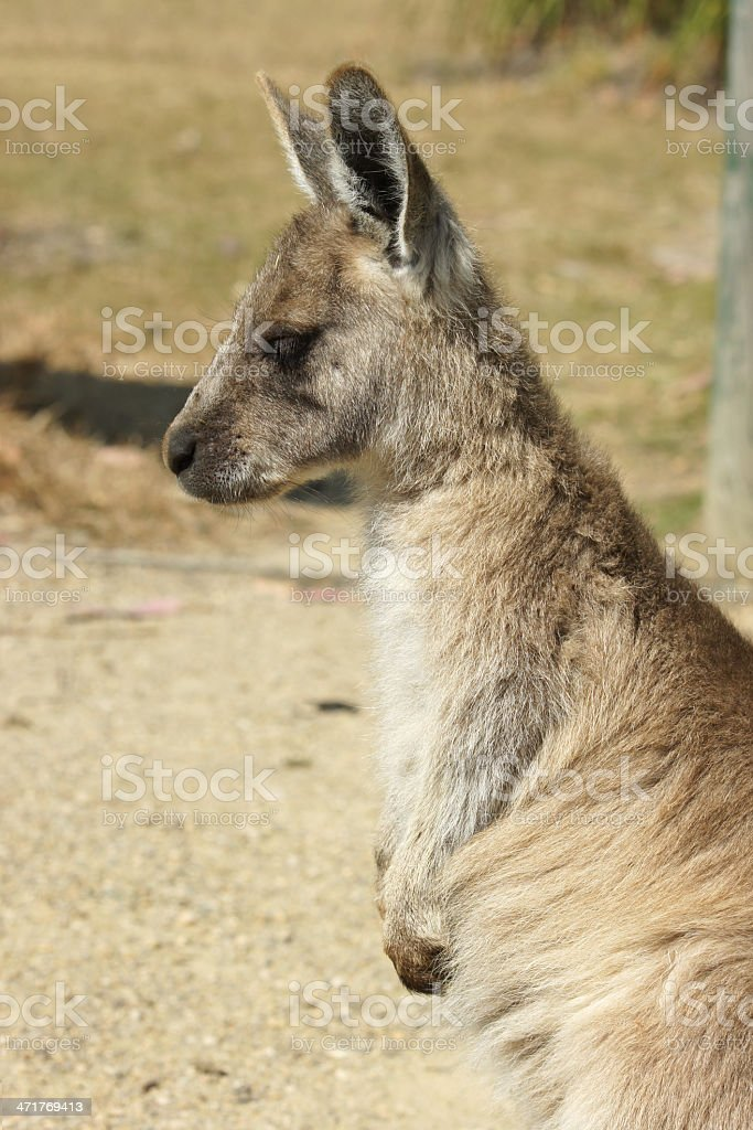 Great Grey Kangaroo, Australia royalty-free stock photo