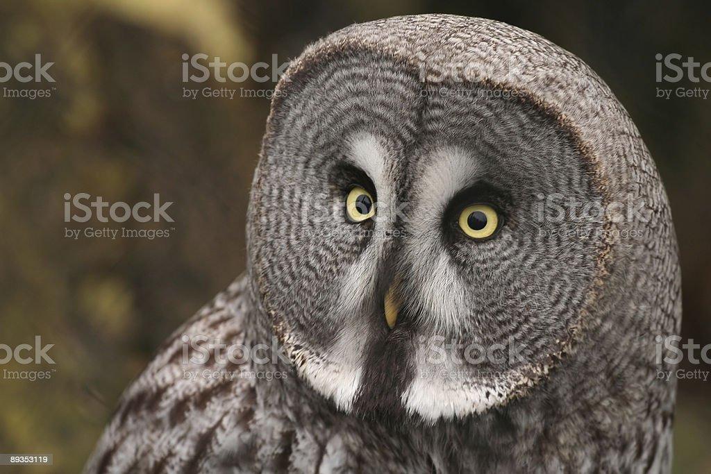 Great Grey or Lapland Owl (Strix nebulosa) stock photo