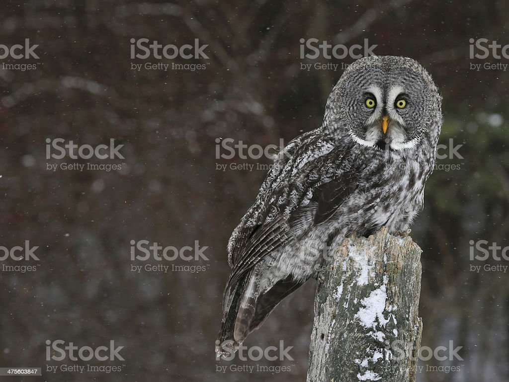 Great Grey Owl and Copyspace stock photo
