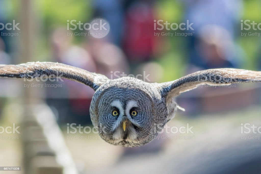 Great Grey Owl bird of prey in level flight facing camera. stock photo