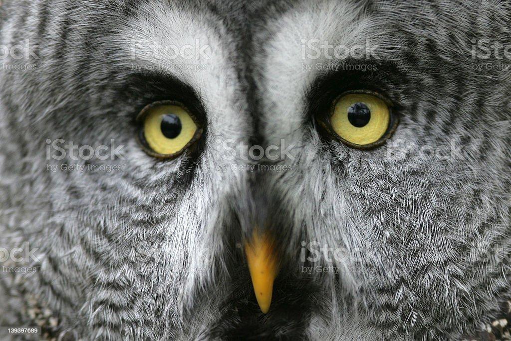 Great grey owl headshot royalty-free stock photo