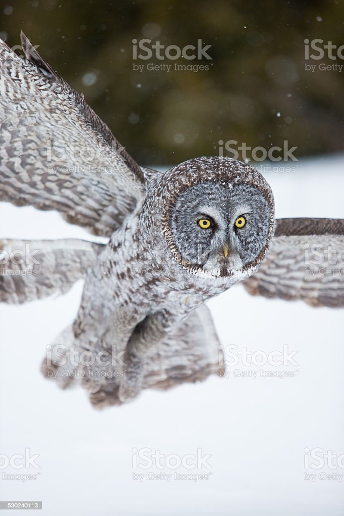Great Grey Owl in flight during winter stock photo
