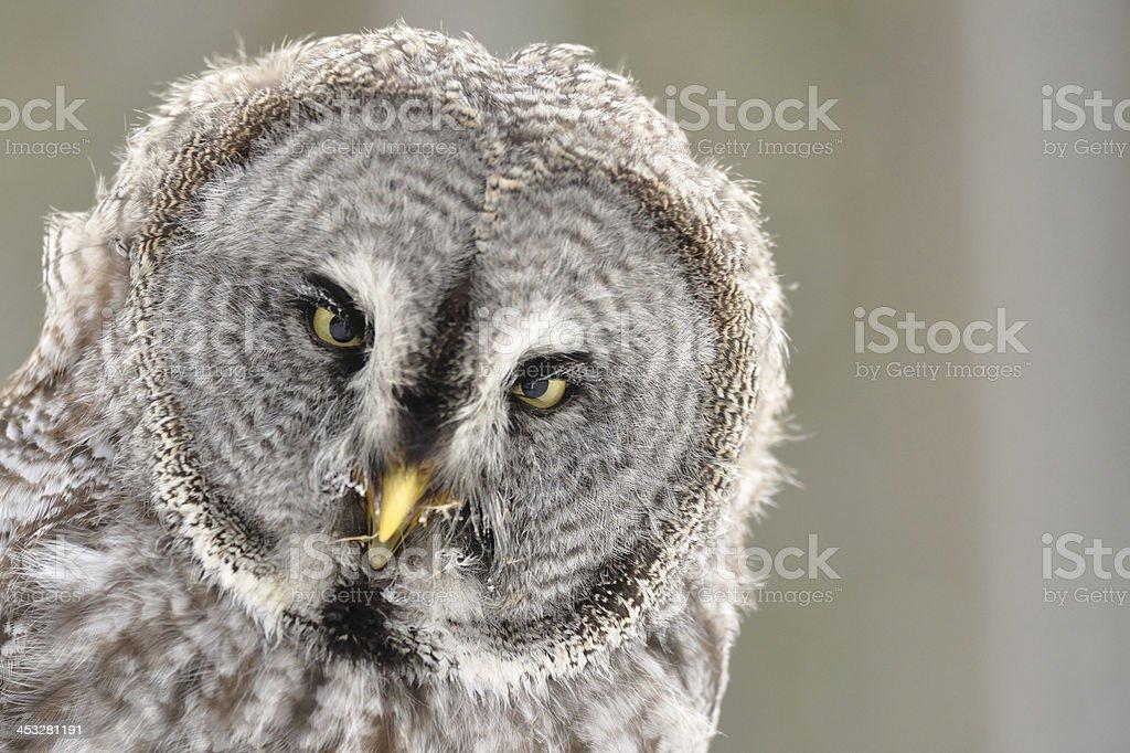 Great Grey Owl isolated portrait stock photo