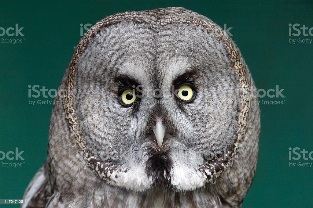 Great grey owl looking at camera stock photo
