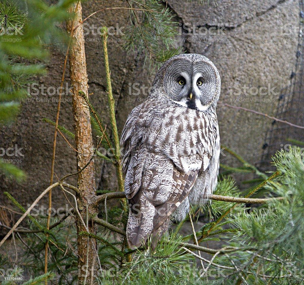 Great grey owl looking over his shoulder- stock photo