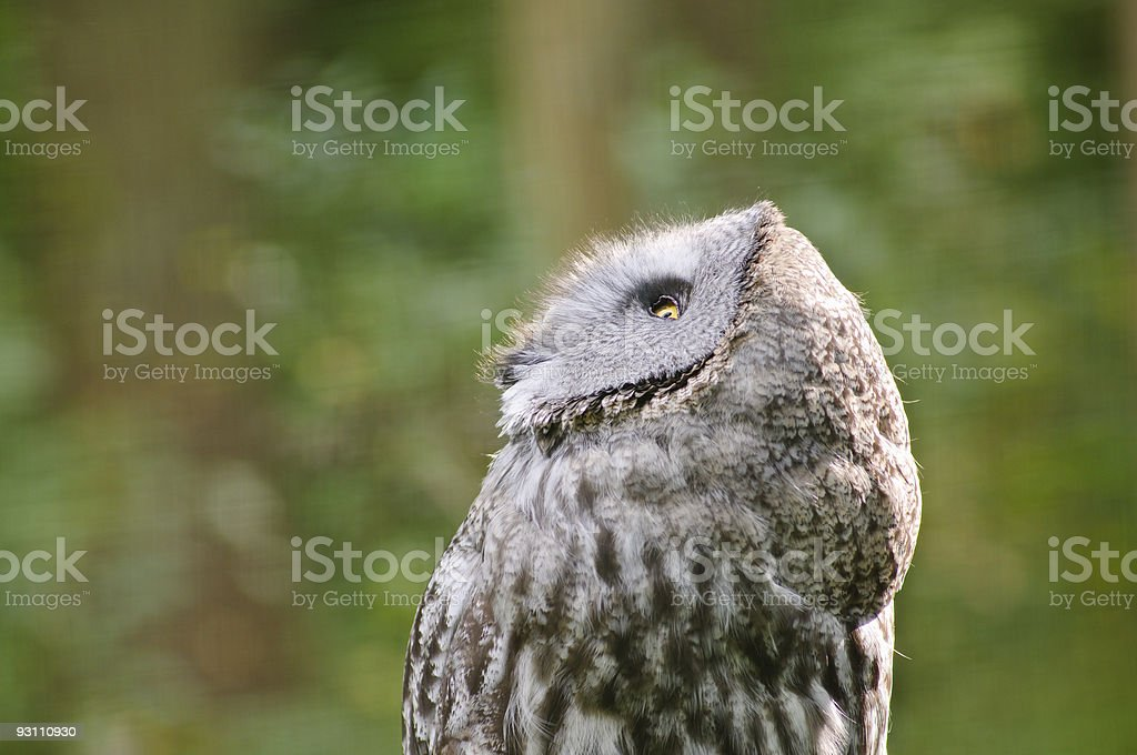Great grey owl looking up royalty-free stock photo