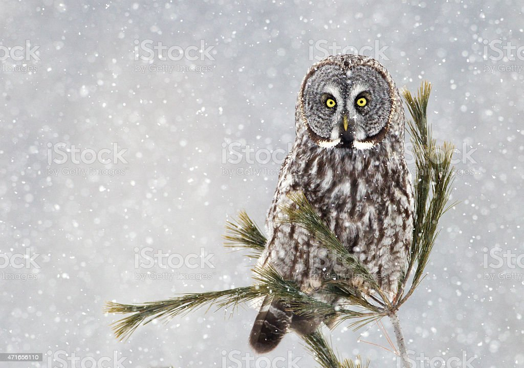 Great Grey Owl on Pine in Snow Storm stock photo