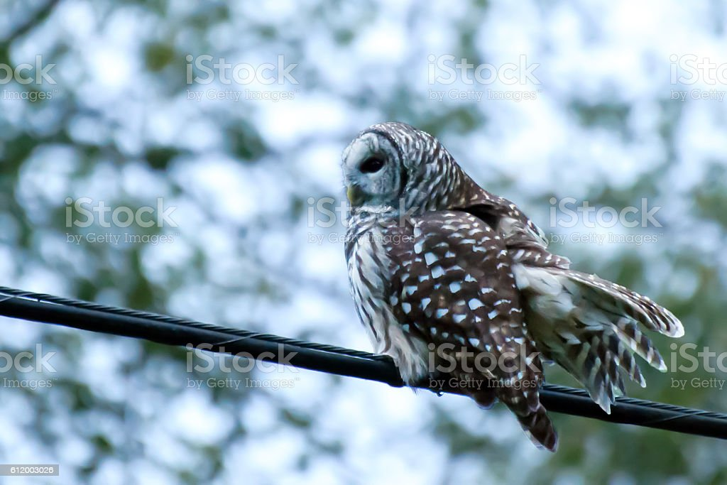 great grey owl perched on a cable stock photo