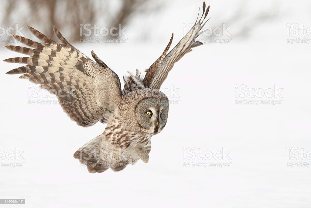 Great Grey Owl royalty-free stock photo