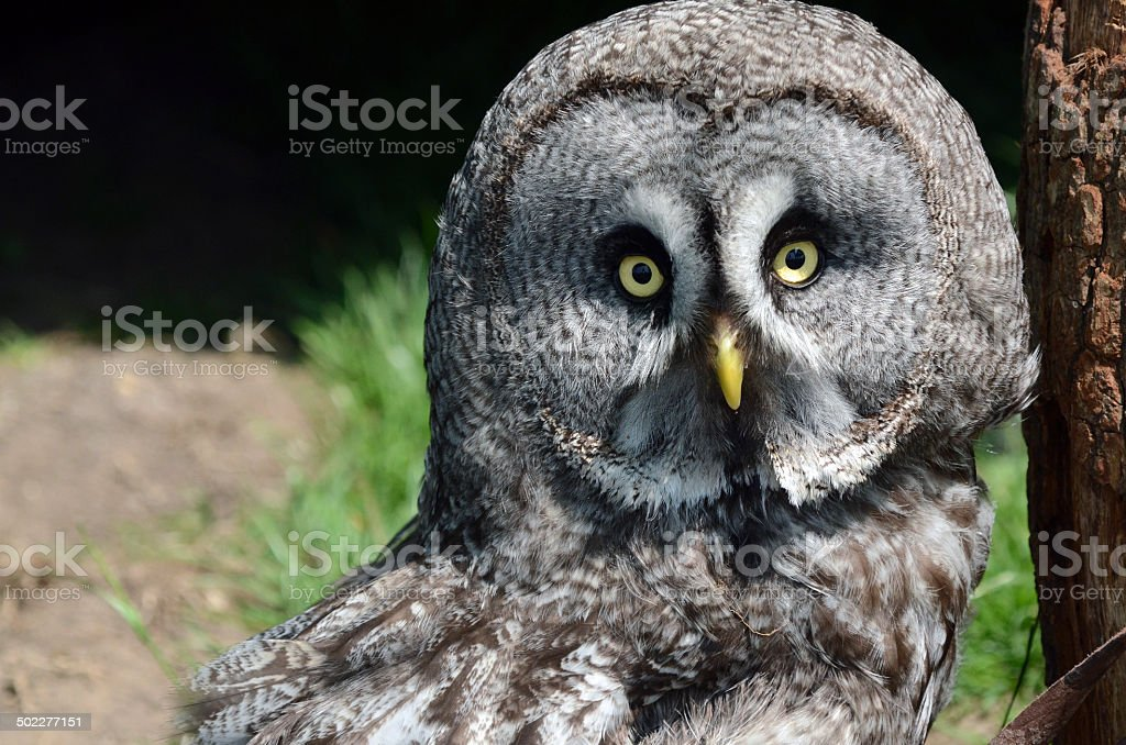 Great Grey Owl royalty-free stock photo